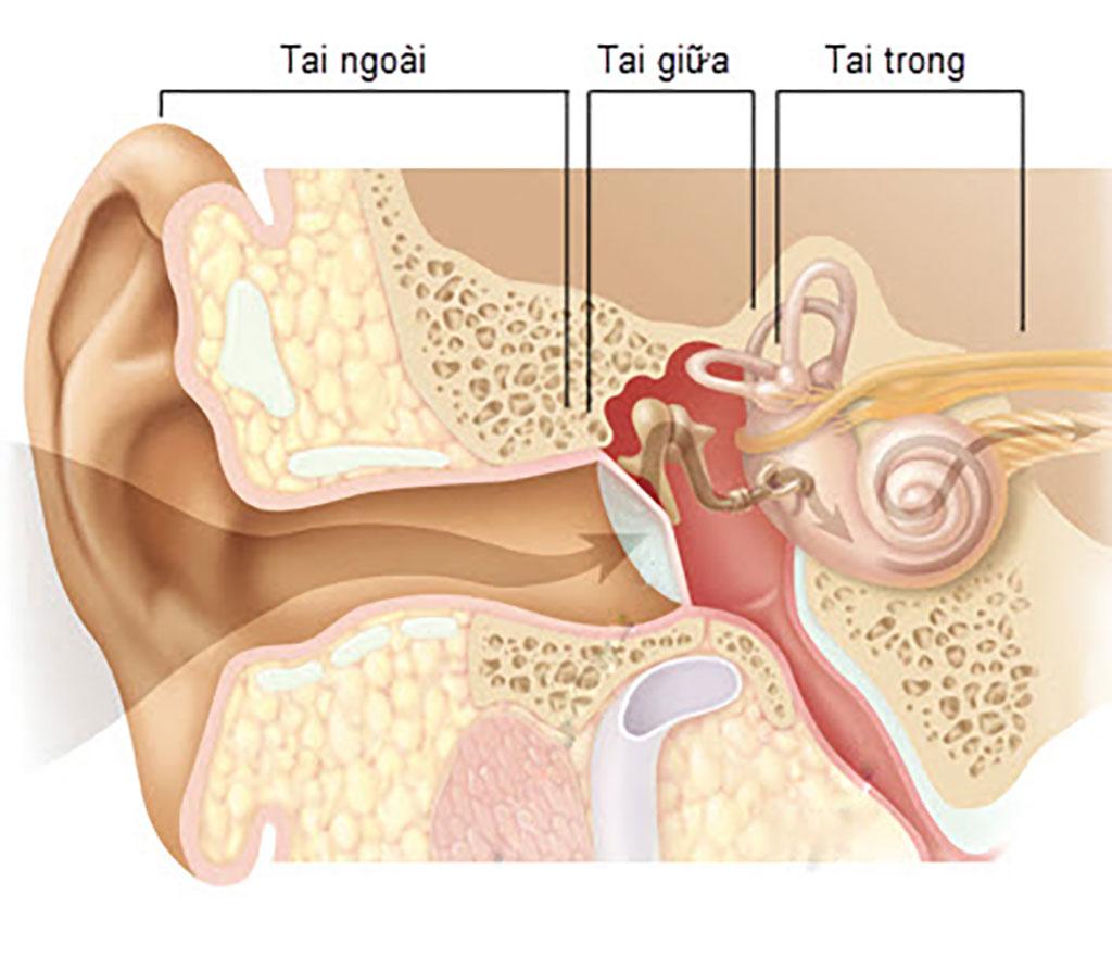 Sơ lược giải phẫu Tai - Bệnh viện Tai Mũi Họng Sài Gòn