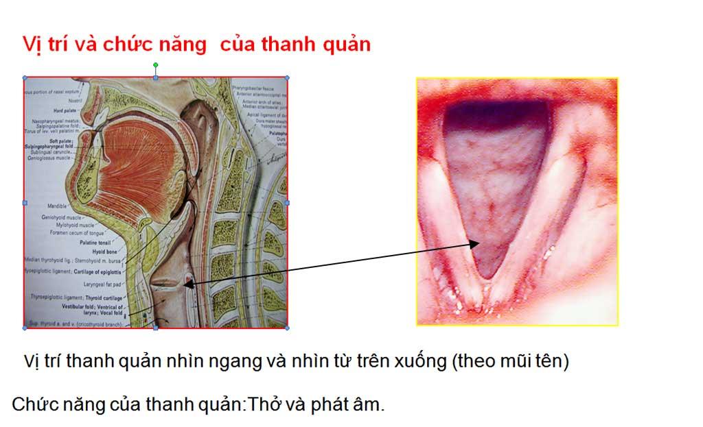Vị trí và chức năng của thanh quản - Bệnh viện Tai Mũi Họng Sài Gòn